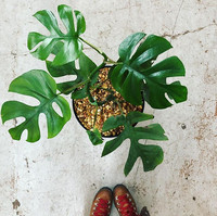 Sweetly referred to as the mini monstera