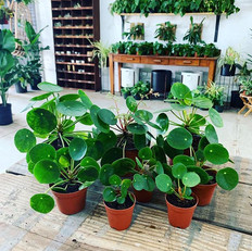 Pilea Peperomioides for DAYS in here! No