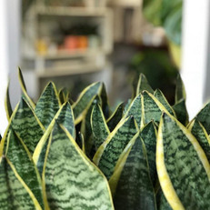 Loving the big wide leaves of this current batch of sansevieria! These plants are incredibly powerful when it comes to air purification, the