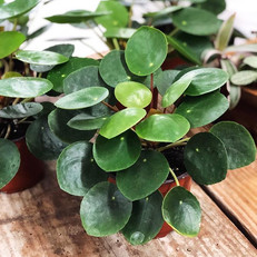 Back in stock in limited quantities these AMAZING Pilea Peperomiodes are super full and healthy and thanks to some strategic buying we've ev