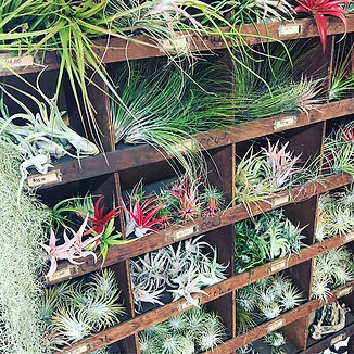 So many beautiful Tillandsias! Come see
