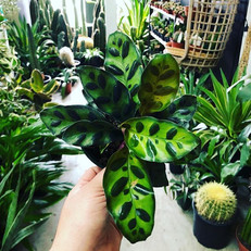 Little Rattle Snake Calathea, you have m