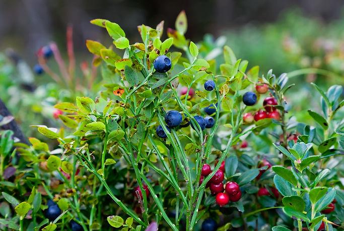 Wild berries  on a green vegetative back