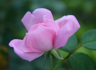 The Last Rose of Summer Blooms at Charred Oaks Inn …
