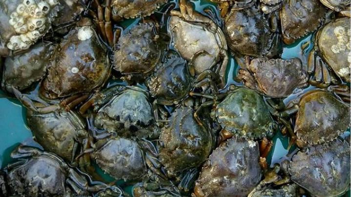 Live Peeler Crabs