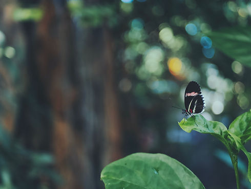 Butterfly with black wings with specs of red near the thorax and white stripes through the wing perched on the end of a leaf.