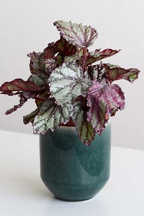 Begonia Rex - Maori Haze