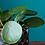 Thumbnail: Pannenkoekplant (Pilea Peperomioides)
