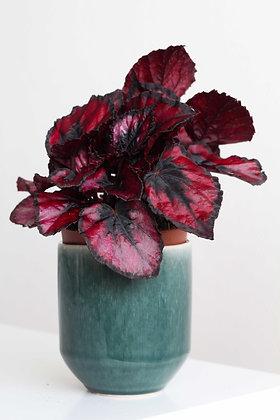 Begonia Rex - Red Robin