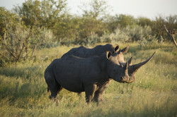 Huge Rhino horn