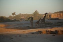 Giraffe in Hoanib