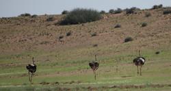 Ostriches in desert