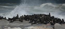Seals Skeleton Coast