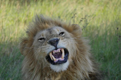 Lion Big 5 Luxury Africa Safari