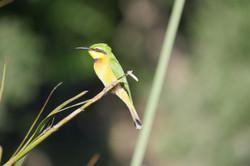 Bird at Moremi