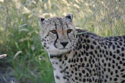 Cheetah Okonjima Africat