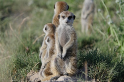 Meerkat Luxury Safari Botswana