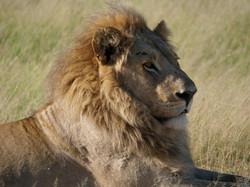 Teenager Lion