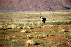 Oryx Damaraland
