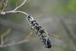 Insect Botswana