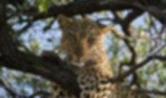 Leopard Okonjima Namibia.jpg