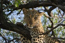 Leopard Okonjima Namibia