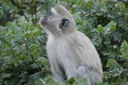 Monkey Moremi