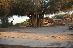 Lion preying on Giraffes