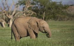 Gracefully eating elephant