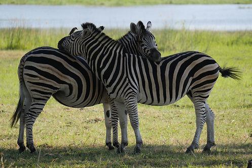 Zebra love.jpg