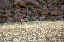 Oryx at boulders