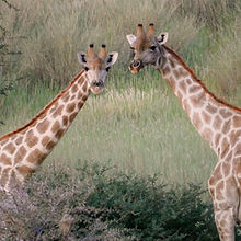 Giraffes Luxury Safari Namibia.jpg