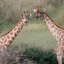 Giraffes Luxury Safari Namibia.jpg