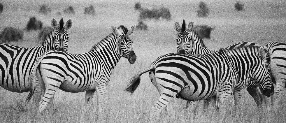 Zebra migration.jpg