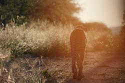 Sunrise Cheetah