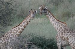 Giraffes Luxury Safari Namibia