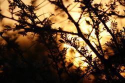 Thornbush Sunset