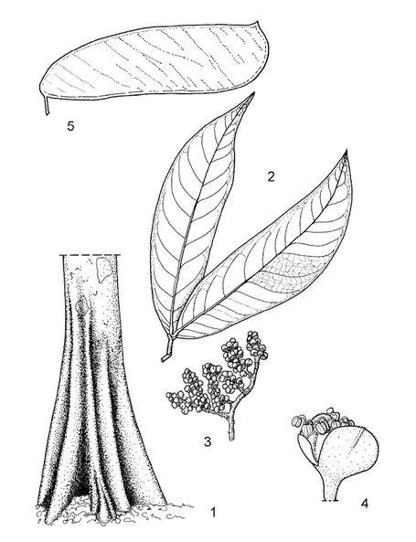 Parts of Beli Tree