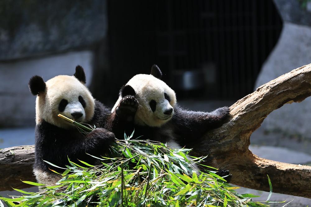 Due panda seduti su un tronco mangiano bambù