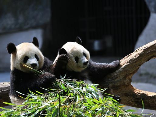 La diplomazia dei panda: il soft power secondo la Cina