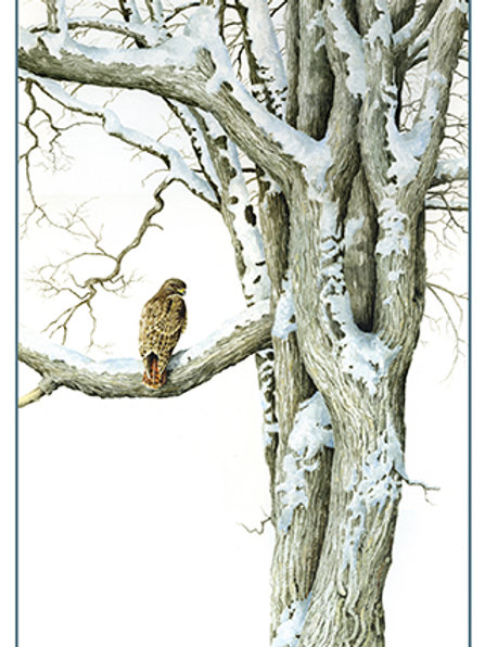 Red-tailed Hawk & Elm