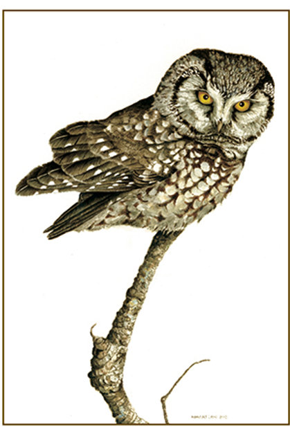 Boreal Owl on Branch