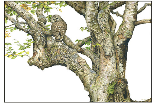 Barred Owl& White Birch