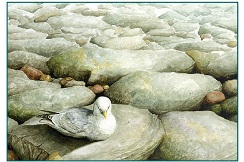 Kittiwake on the Rocks