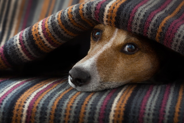 Frightened dog hiding under blanket.