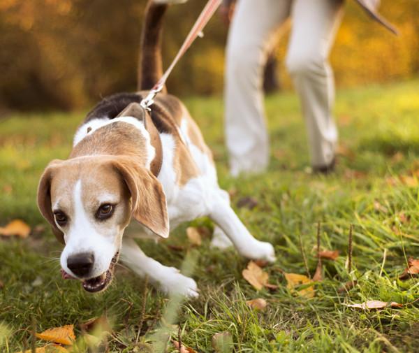 Beagle pulling on the leash to chase something