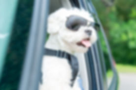 Small dog maltese in a car with open window. Dog wears a special dog car harness to keep him safe wh