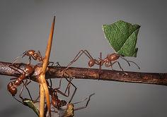 leaf-cutter ant.jpg