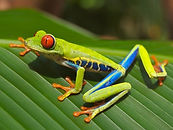 red-eyed-tree-frog 2.jpg