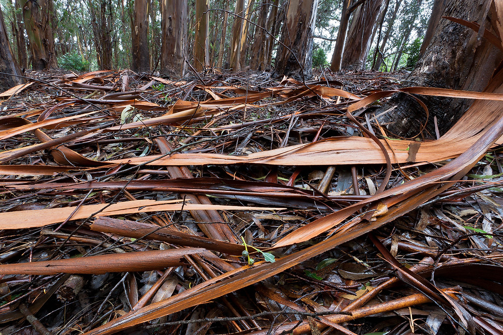 Eucalyptus bark debris